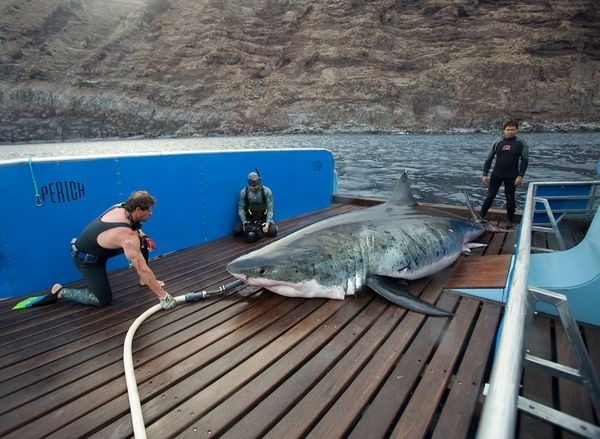 17.9 Foot Great White Shark Caught (That's A Record)